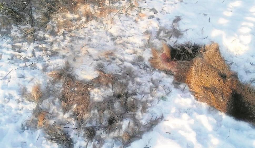 Film do artykułu: Wilki w okolicy Lęborka zaatakowały jelenia! Myśliwy chce ograniczenia populacji