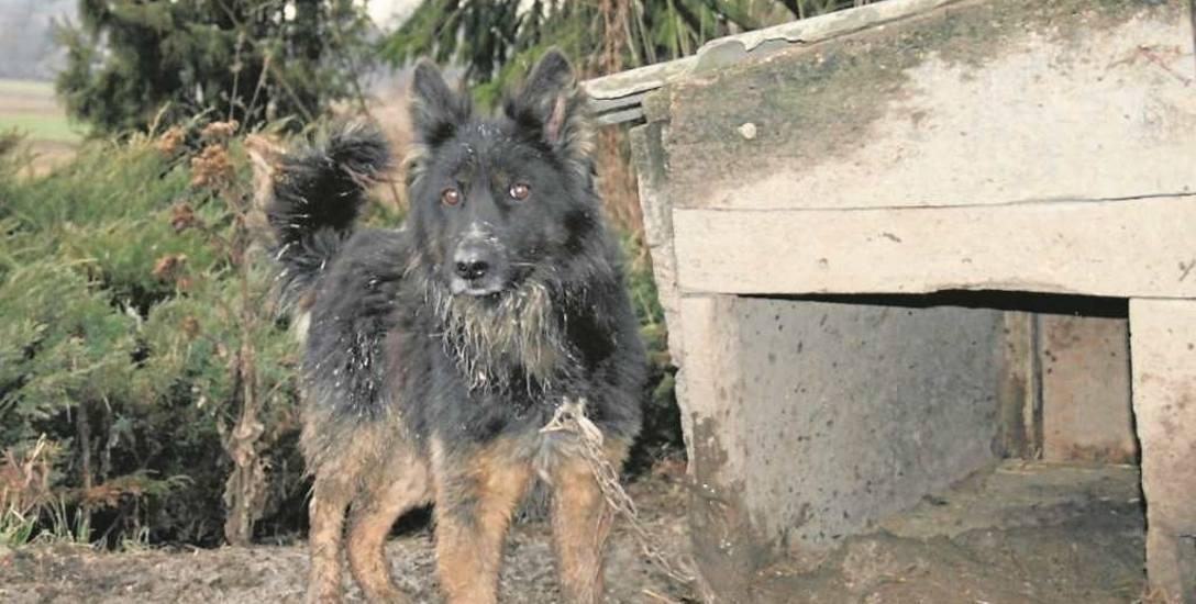 """""""Opiekunce"""" tego psa sąd zakazał posiadania zwierząt przez pięć lat. Nieszczęśnika, mimo natychmiastowego odbioru, nie udało się uratować. W domu były"""