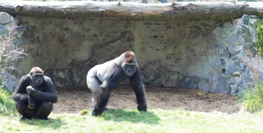 W 2005 roku w zoo zamieszkały trzy goryle, które od razu zdobyły serca opolan. Obecnie w  naszym w ogrodzie pozostał tylko jeden. W przyszłym roku będzie