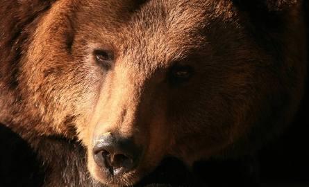 Zoo w Gdańsku. Odeszła niedźwiedzica Cytra. Była jednym z najstarszych zwierząt gdańskiego ogrodu zoologicznego
