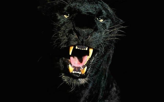 Czarna Puma Zadomowiła Się W Lasach Pod Gościnem Głos Koszaliński