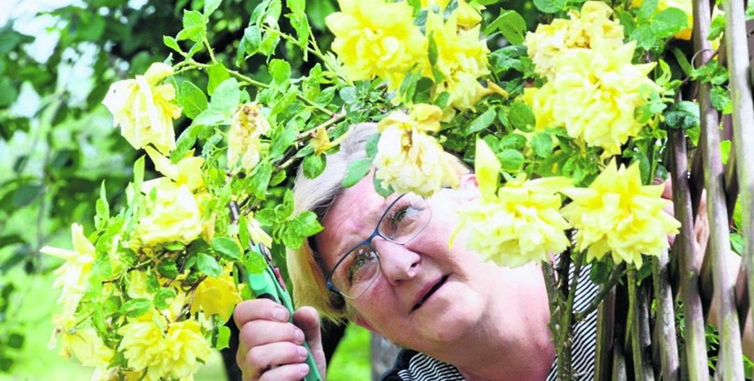 Krystyna Brudło z Kargowej stara się jak może, aby utrzymać swoje rośliny w jak najlepszej formie. - Pogoda nie pomaga... - mówi.