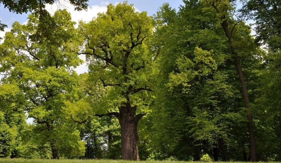 Film do artykułu: Polski dąb Józef Europejskim Drzewem Roku 2017