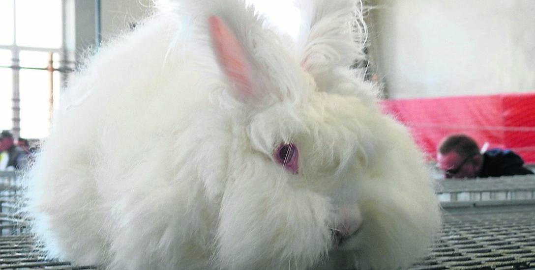 Bielsk Podlaski. Pasja do królików musi wychodzić z serca
