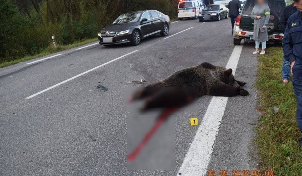 Film do artykułu: Słowacja. Tragiczny wypadek z udziałem niedźwiedzia