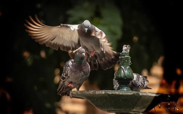 Jak pozbyć się gołębi z balkonu i parapetu? Sposoby na gołębie. Jak skutecznie odstraszyć gołębie? Czy gołębie są pod ochroną? 25.11.2020
