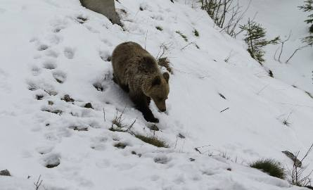 Niedźwiedź w rejonie Myślenickich Turni