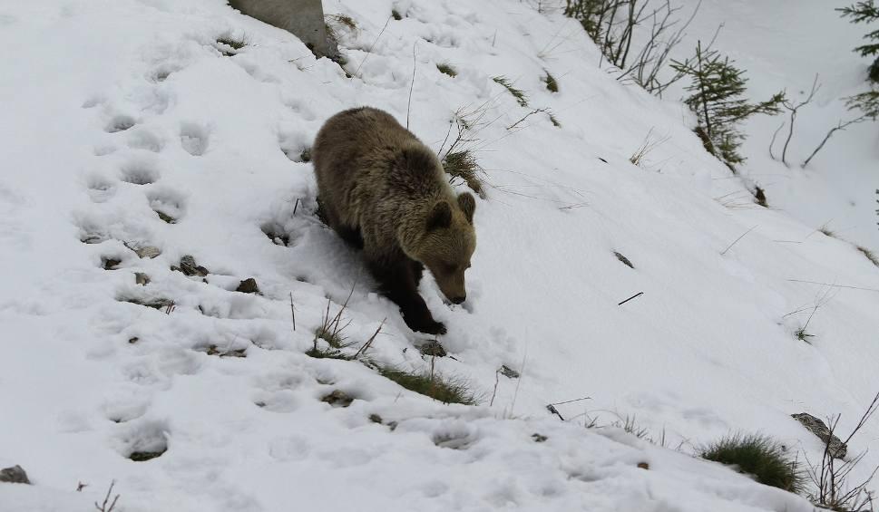 Film do artykułu: Tatry. Młody niedźwiedź przeniesiony z Kasprowego [KRÓTKO]