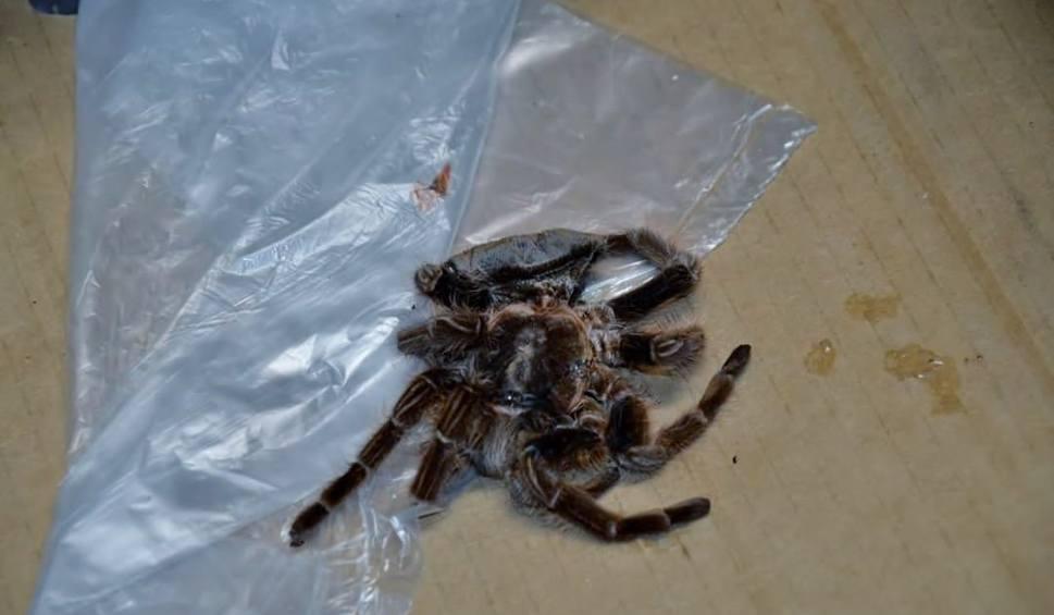 Film do artykułu: Nieżywy pająk ptasznik w markecie Biedronka