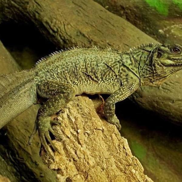 W zamojskim zoo zamieszkały nowe, rzadkie gady. Legwan, agamy, gekony i jaszczurki-scynkowce (ZDJĘCIA)
