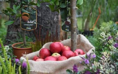 Jabłoniowy zawrót głowy 2021 w Łęknicy. Kosze rumianych jabłek i pachnące chleby. To smaki naszego dziedzictwa