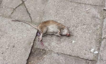 Ul. Lipowa 37. Szczur w centrum miasta próbował zaatakować mężczyznę (zdjęcia)