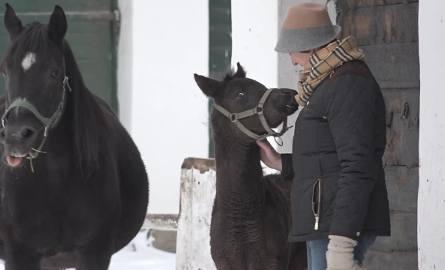 W stadninie w Janowie Podlaskim przyszło na świat 20 koni (WIDEO)