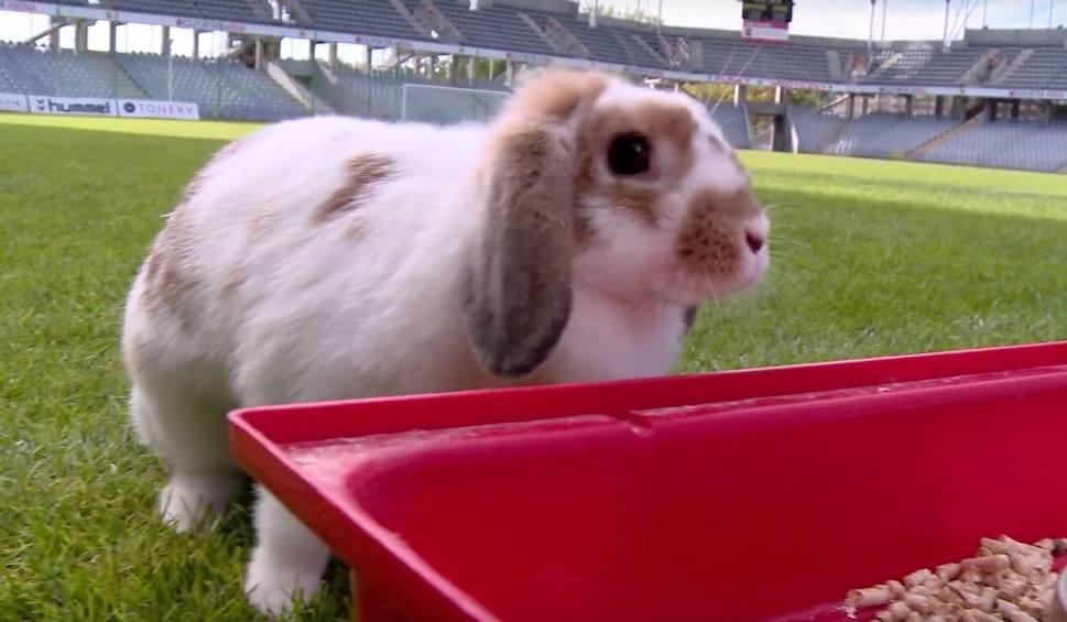Film do artykułu: Rybki, psy, pająki i ... królik. Piłkarze Korony i ich zwierzęta