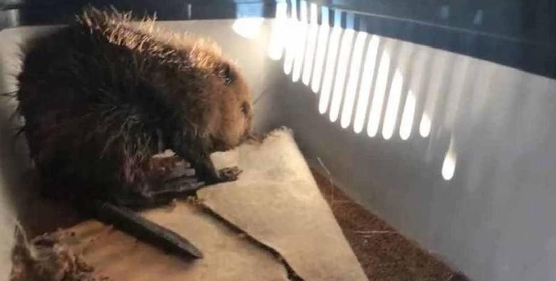 Młoda bobrzyca mimo udzielonej pomocy i podawanych leków nie przeżyła