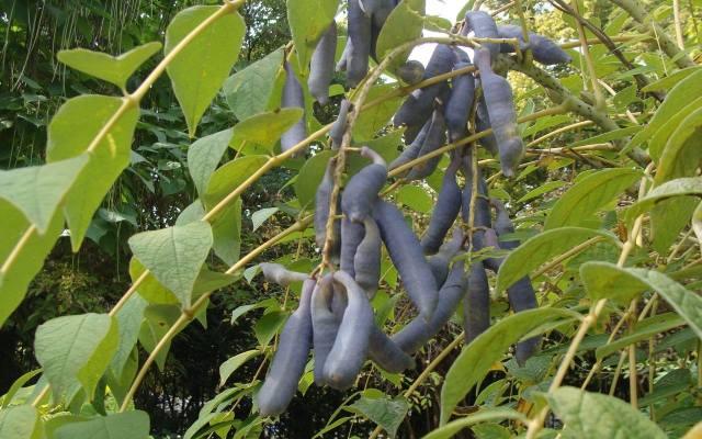 Jesienią palecznik wygląda bardzo oryginalnie, a to za sprawą niebieskawych, sporych owoców.