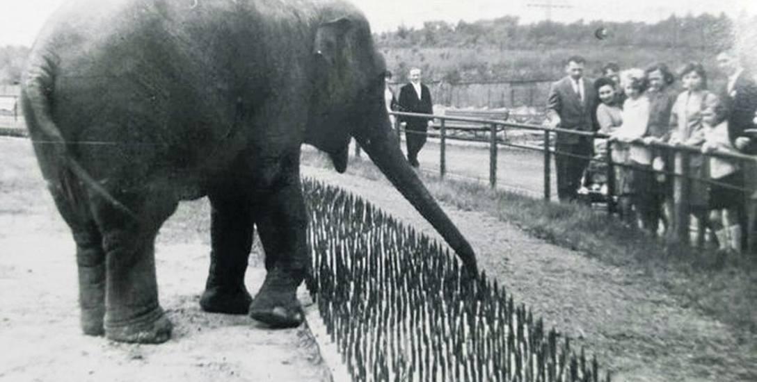 Nieznana historia: Jak słonica Gina uciekła ze śląskiego zoo