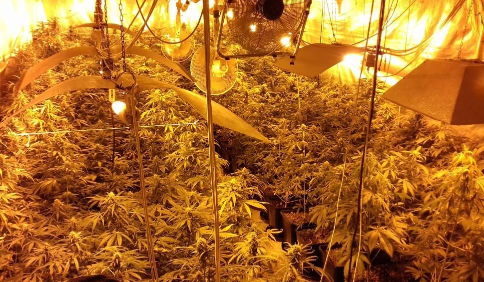 Film do artykułu: Plantacja konopi powiecie w brzeskim. Funkcjonariusze CBŚP i brzescy kryminalni zabezpieczyli 250 krzewów i 2 kg marihuany