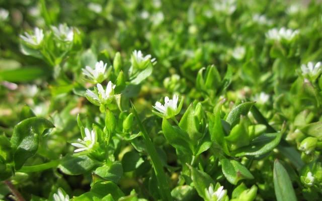 Gwiazdnica najlepiej rośnie wiosną i jesienią, a latem dobrze rozwija się w chłodnych i zacienionych miejscach. Roślina ma prozdrowotne właściwości.Dawniej