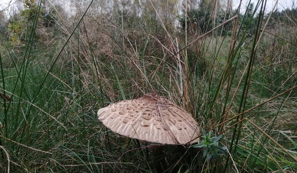Film do artykułu: Wysyp pysznych grzybów w Świętokrzyskiem. Żeby nazbierać, nie musisz iść do lasu