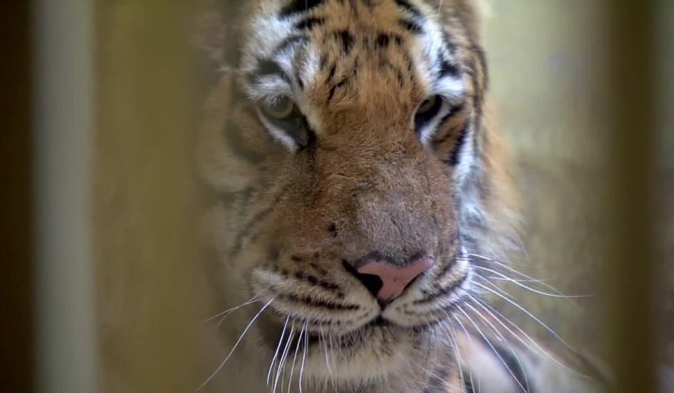 """Film do artykułu: """"Możemy mówić o maleńkim postępie"""". Powoli poprawia się stan tygrysów w poznańskim zoo"""