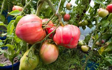 Pomidory to samo zdrowie. Warto je włączyć do naszej diety [WIDEO]
