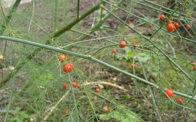 Owoce szparagów wyglądają ładnie, ale są lekko toksyczne (zawierają saponiny).