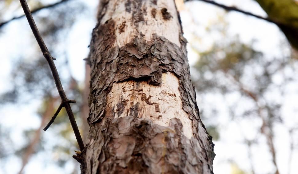 Film do artykułu: Kornik ostrozębny bezwzględny dla okolicznych drzew. W 2019 roku wycięto ok. 1000 ha lasów. Teraz przyszła kolej na kolejne 100 ha