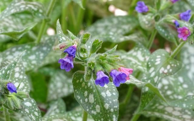 Miodunki kwitną wyjątkowo wcześnie i dostarczają nektaru pszczołom i trzmielom.