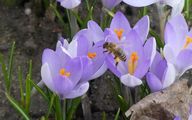 Krokusy są miododajne. Warto je sadzić, bo ze względu na wczesny termin kwitnienia, są cennymi roślinami dla pszczół.