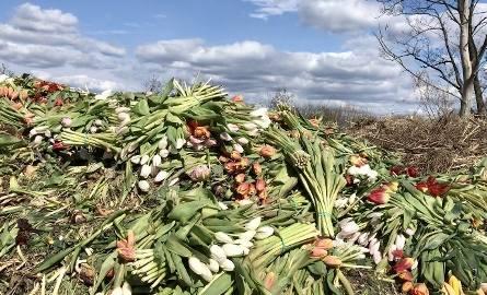 W gospodarstwie Królika wyrzucono już ponad 100 tysięcy kwiatów, kolejne tyle czeka na rozdanie.