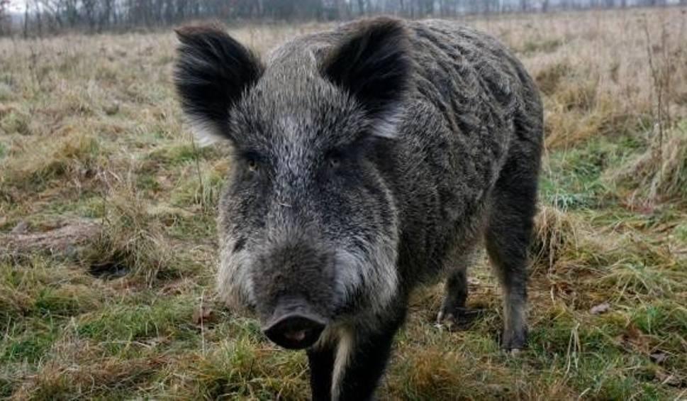 Film do artykułu: Dzik zranił dwóch mężczyzn pracujących w lesie koło Malechowa (pow. sławieński). Zostali przewiezieni do szpitala. Ich stan jest poważny