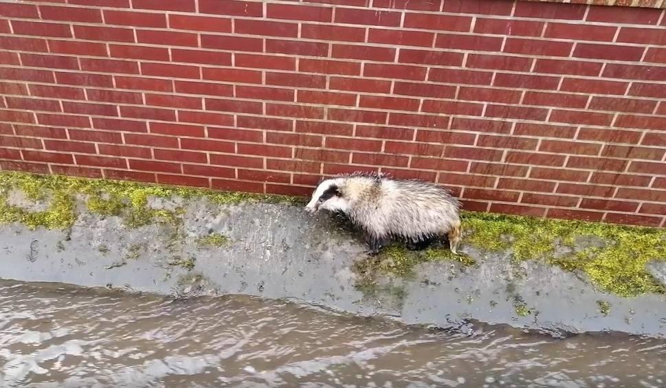 Film do artykułu: Borsuk wpadł do kanału Strzyży we Wrzeszczu i nie mógł się wydostać. Nietypowa akcja ratunkowa Strażników Miejskich [zdjęcia, wideo]