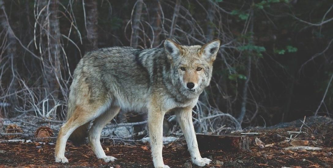 W naszych lasach mieszkają wilki, ale na szczęście boją się człowieka