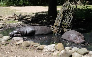 W Opolu można oglądać dwie hipopotamice: Oliwkę pochodzącą z Gdańska i jej córkę.