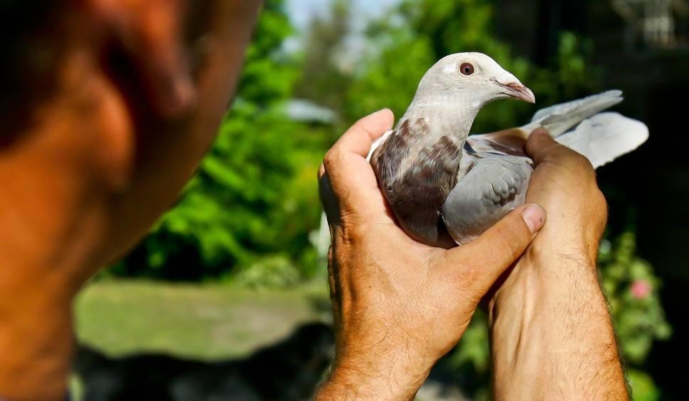 Gołębie Pocztowe Artykuły Gazeta Pomorska Plus