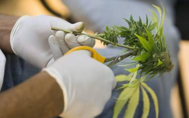 - Medyczna marihuana to rewolucyjne odkrycie [ROZMOWA]