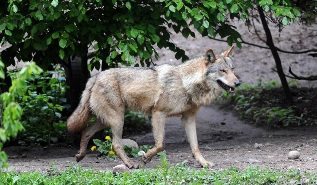 Dom wilków na arenie kojarzeń