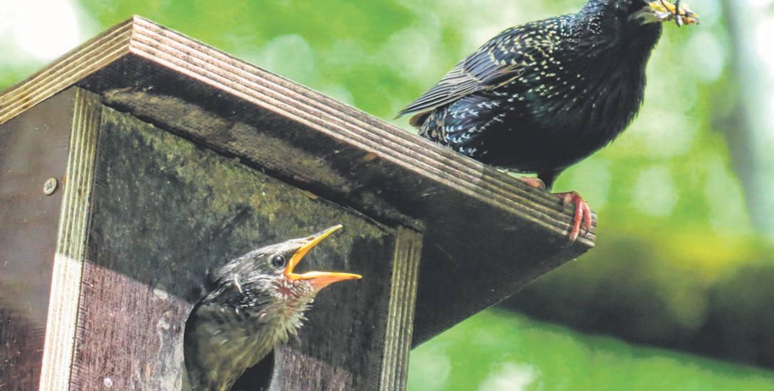 Zwierzęta wokół nas. Ptak, który podbił Amerykę
