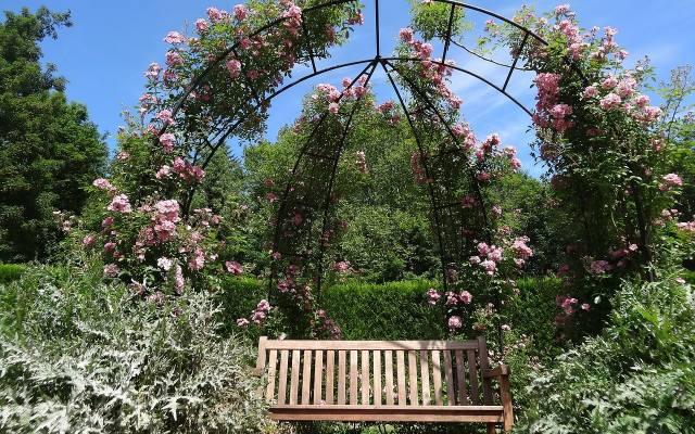 """Róże pnące są tylko pozornymi pnączami, ponieważ nie mają organów czepnych, którymi mogłyby """"złapać"""" się podpór. Dlatego większość odmian róż"""