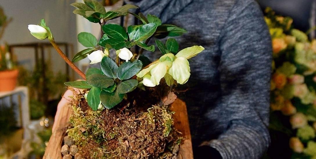 Hiacynty, szafirki, dziwna oplątwa. Wiosenne kwiaty już kuszą w łódzkich kwiaciarniach