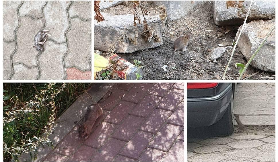 Film do artykułu: Szczury opanowały okolice bloku przy ul. Monte Cassino w Białymstoku. To prawdziwa plaga (zdjęcia)
