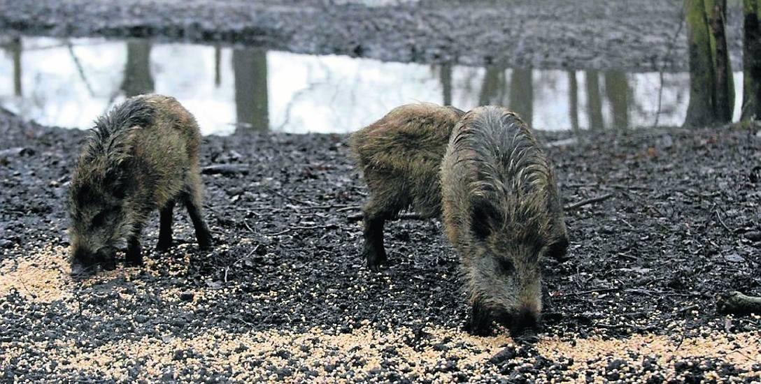 Nowy Tomyśl: Mieszkańcy mają problem z dzikami. Zwierzęta zagrażają ludziom?