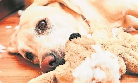Jeśli nie chcemy, by pies niszczył przedmioty, chowajmy je