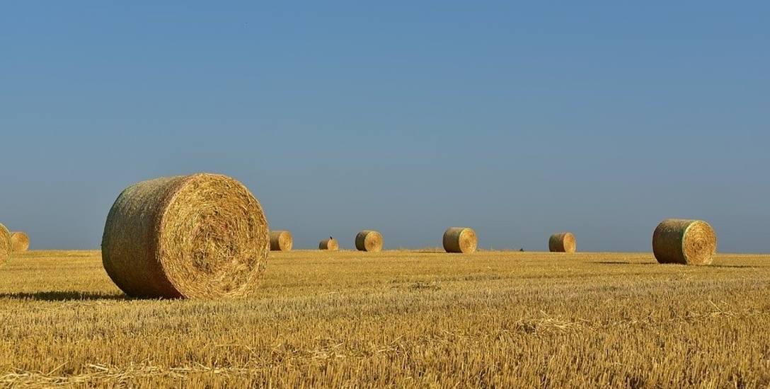 Rolnicy zaczęli żniwa. Oceniają, że plony będą marne, bo najpierw zboże zniszczyła susza, potem ulewy