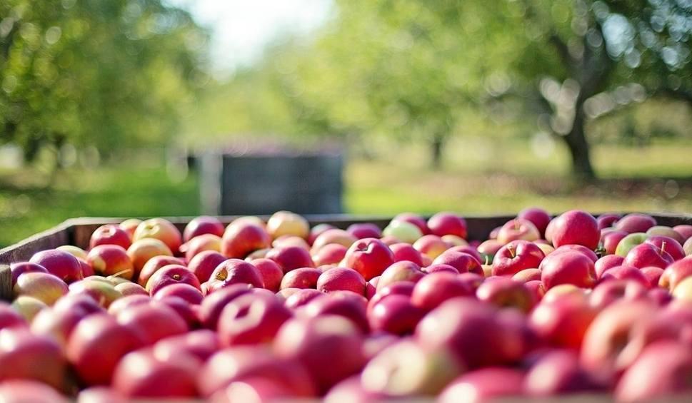 Film do artykułu: Skup interwencyjny jabłek w Świętokrzyskiem i wielki chaos wśród sadowników. Lista punktów skupu