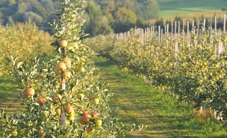 W tym roku zbiory jabłek w woj. podlaskim będą odbiegały od normy