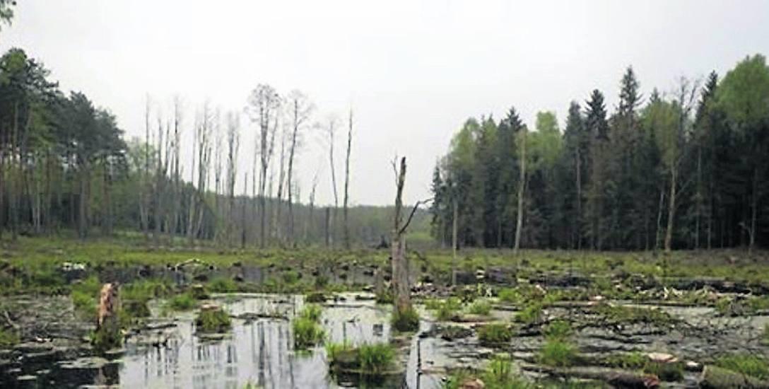 Wycięto bobrowisko w okolicy Popielarki. Leśnicy: Zdecydowały względy bezpieczeństwa