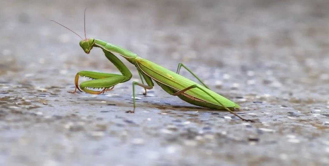 Zaobserwowanie modliszki w mieście jest paradoksalnie łatwiejsze niż poza miastem, bo ten zielony, charakterystyczny, dość spory owad, spektakularny