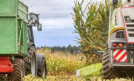 To, że z pól zniknęły kombajny zbożowe, nie oznacza, że rolnik ma wakacje. Trwają zbiory kukurydzy na kiszonkę, a za około miesiąc - zależnie od pogody